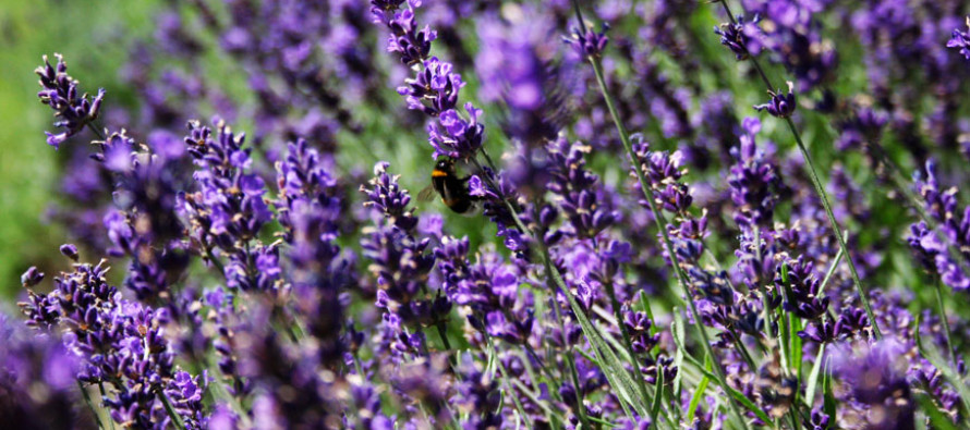 Seeing Purple: Lavender adds flavor and flair to food and cocktails
