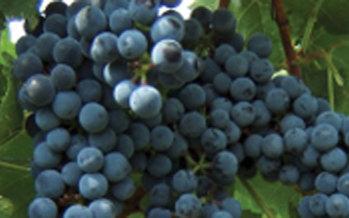 Cuthills Vineyards